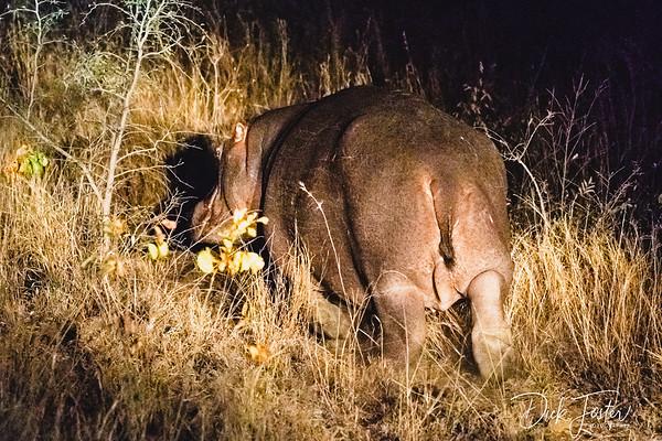 Hippo during Night Safari