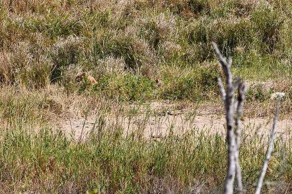 Lion Cub in Grass on Left