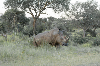 The third of the big five, a white rhinoceros