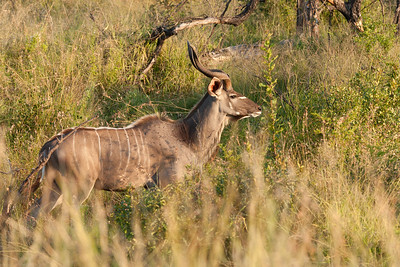 A young Kudu appearing in the brush...