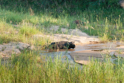 Right after entering the park we spotted the  first of the big five a member of a small group of elderly Buffaloes