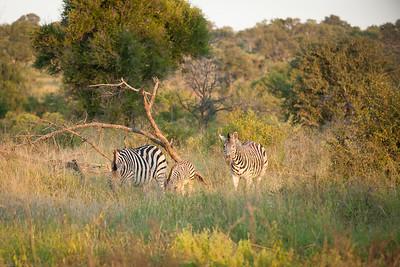 Some Zebras