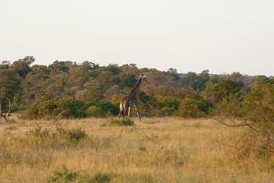 The first Giraffe