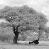 Resting Under Acacia