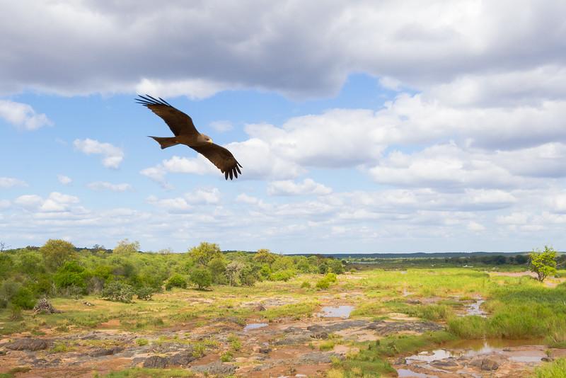 A tawny eagle (I think?) soars over the Kruger landscape below, near Olifants.