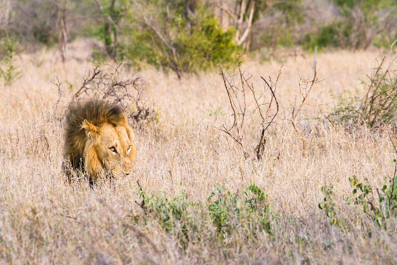 A lion stalks beneath the brush in Kruger National Park.