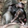 newborn baboon - Lake Manyara-2