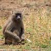 baboon- Lake Manyara