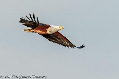 fish eagle - Lake Naivasha NP - Kenya-6