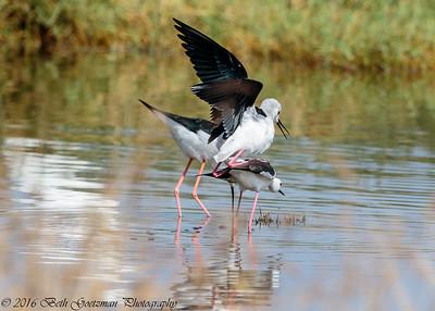 black winged stilts mating - Lake Navaisha-2