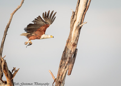 fish eagle - Lake Naivasha NP - Kenya