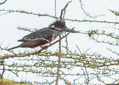 giant kingfisher - Lake Naivasha NP - Kenya-3