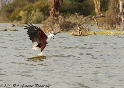 fish eagle - Lake Naivasha NP - Kenya-4
