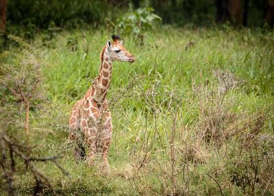 baby giraffe - Lake Naivasha