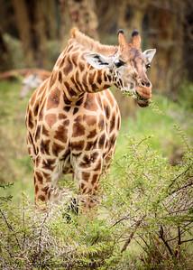 giraffe & acacia - Lake Naivasha-2