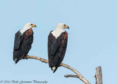 fish eagle pair - Lake Naivasha NP - Kenya-2