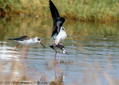 black winged stilts mating - Lake Navaisha