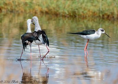 black winged stilts mating - Lake Navaisha-5