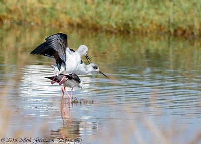 black winged stilts mating - Lake Navaisha-3