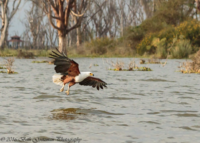fish eagle - Lake Naivasha NP - Kenya-3