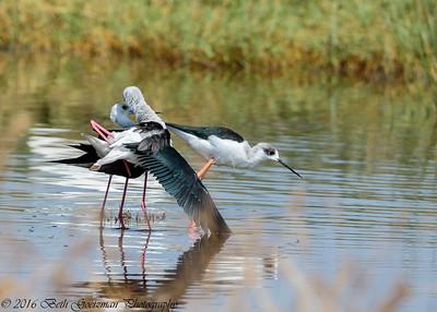 black winged stilts mating - Lake Navaisha-4