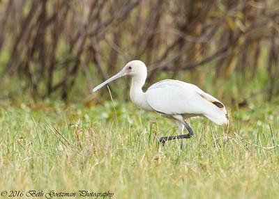 African spoonbill - Lake Naivasha NP - Kenya