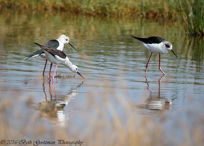 black winged stilts  - Lake Navaisha