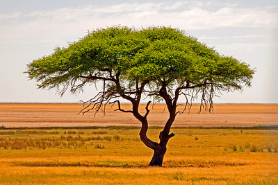 Lone Tree, Namibia, Africa