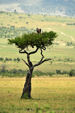 Acacia Tree with Vultures