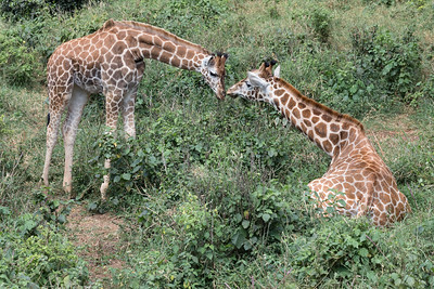 A mother and baby Rothschild's giraffe at the African Fund for Endangered Wildlife Giraffe Centre in Kenya. These giraffes are gravely endangered.