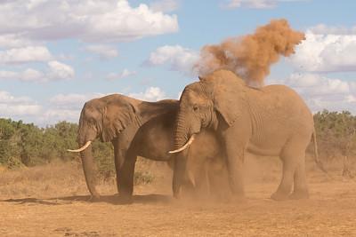 Elephant Dust Bath 2