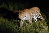 Leopard Female approaching Male @ Little Bush Camp