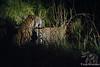Leopard Female & Male Prep for sex @ Little Bush Camp