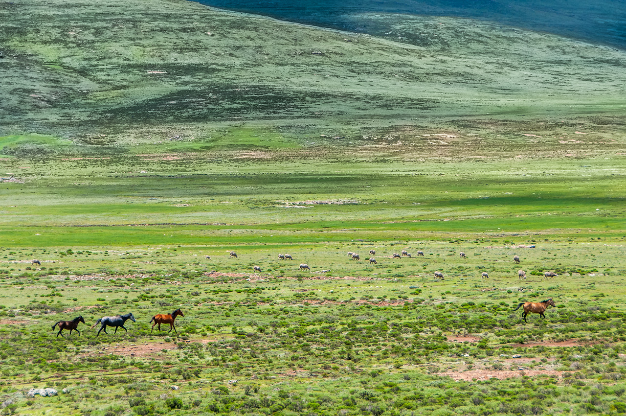 Horses grazing in the Sani Pass, Lesotho