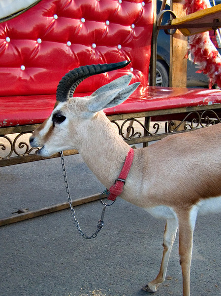 Gazelle, Tripoli.  Enterprising people have set up plush benches and carriages, each supplied with an unfortunate, tethered gazelle.  The idea is to encourage sweethearts to pose for photos at $3 a pop, but I saw no takers.