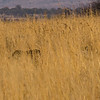 and amazingly one of the first things we saw was this cheetah moving through the grass with her cubs.