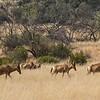 of Red Hartebeest,