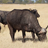 Cape Buffalo with Yellow-Billed Oxpecker