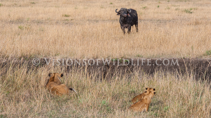 Lioness, cubs, and a cape buffalo