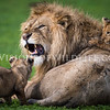 Lion cubs playing with male lion