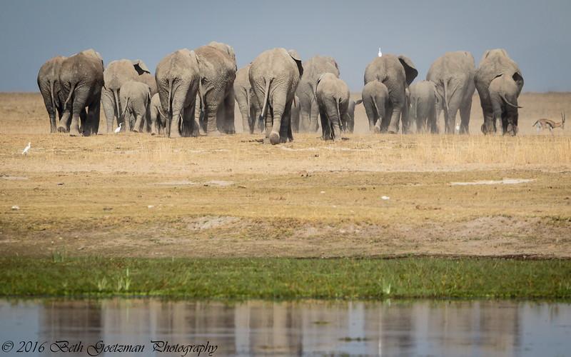 elephant exodus reaized - Masai Mara-2