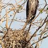 white-backed vulture - immature -  Masai Mara Preserve - Kenya