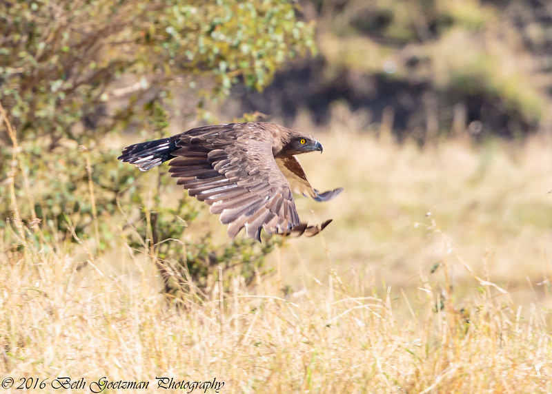 tawney eagle in flight -  Masai Mara Preserve - Kenya-2