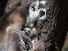 Ring-tailed lemurs, Anja Community Reserve