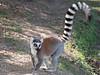 Ring-tailed lemur, Anja Community Reserve