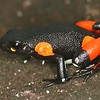 Mantella cowanii, Harlequin mantella - Restricted to a few deforested and degraded sites of the high plateau of Madagascar. Possibly one of the most threatened frogs of Madagascar.