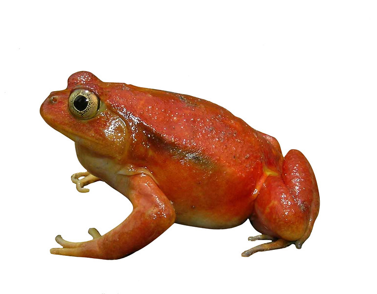 Dyscophus antongilii, Tomato frog - This big and orange-coloured frog is peculiar in being one of the most known amphibians of Madagascar, but also one of the few which are present in urban habitats. Most of the known populations occur within the town of Maroantsetra, in NE Madagascar. It is threatened by the local urbanisation and pollution.