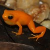 Mantella aurantiaca, Golden Mantella - This is a well known and attractive species, requested for the pet-trade. It is one of the few species currently object of a captive breeding program