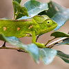 Female of Labord's Chameleon