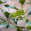 Female of Labord's Chameleon